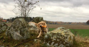 Golden retrievern Gösta hämtar dummyn