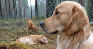 Golden retrievern Gösta på apporteringsträning