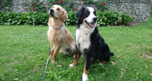 Golden retriever och Berner sennen