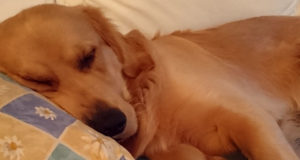 Golden retrievern Gösta sover på kudden
