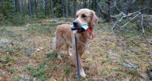 Gösta, golden retriever med sin dummy i skogen